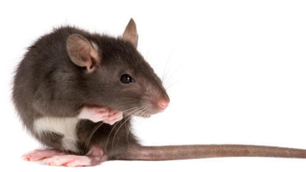 hintergrund eg richtline hat ratten und m use im visier rhein zeitung koblenz rhein zeitung. Black Bedroom Furniture Sets. Home Design Ideas