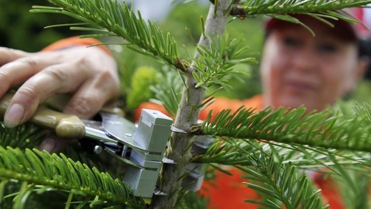 Weihnachtsbaum Selber Schlagen Sauerland.Noch 16 Tage Bis Heiligabend Die Suche Nach Dem Richtigen