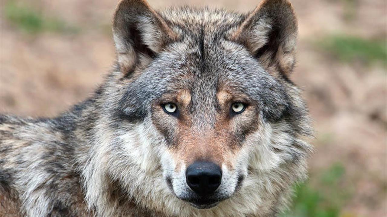 dna analyse beweist dierdorfer wolf stammt aus dem kreis cuxhaven rhein zeitung neuwied. Black Bedroom Furniture Sets. Home Design Ideas
