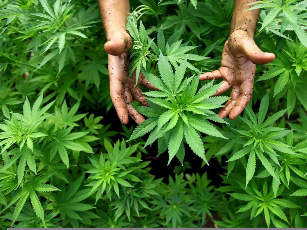 Angeklagter: Drogenplantage war ein Weihnachtsgeschenk der Mutter ...