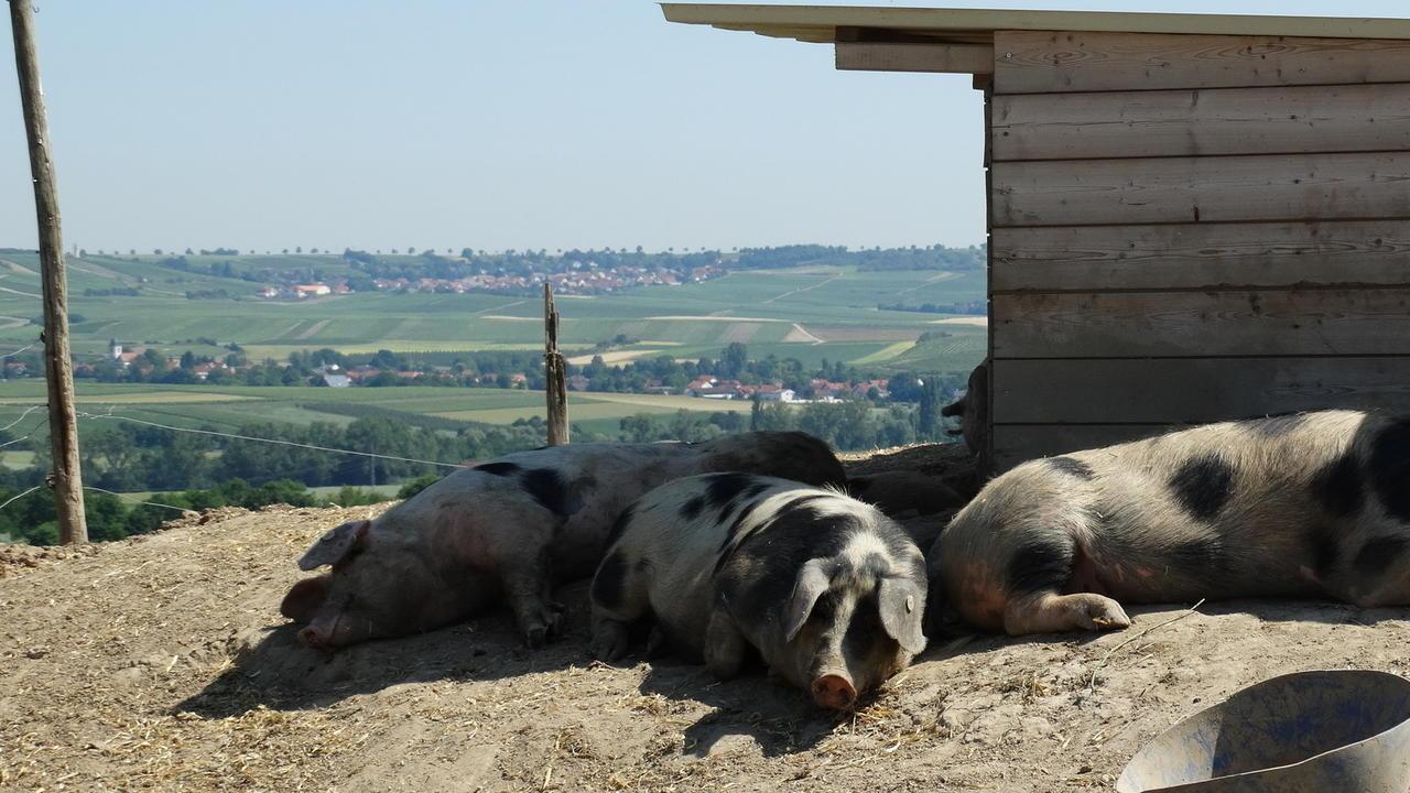 schweinothek in gau bickelheim wo wein und schwein bestens harmonieren oeffentlicher anzeiger. Black Bedroom Furniture Sets. Home Design Ideas