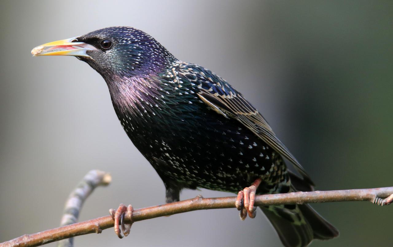 Tausende Haben Vögel Im Garten Gezählt Im Winter Ist Der Star Der