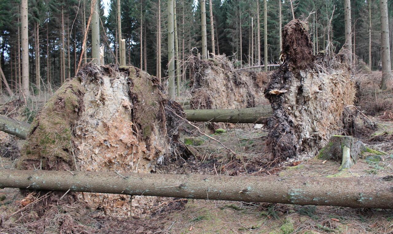Okt. 2018. München Den Bayerischen Staatsforsten als größtem Waldbesitzer Bayerns ist es mit einem personellen und finanziellen Kraftakt vorerst.