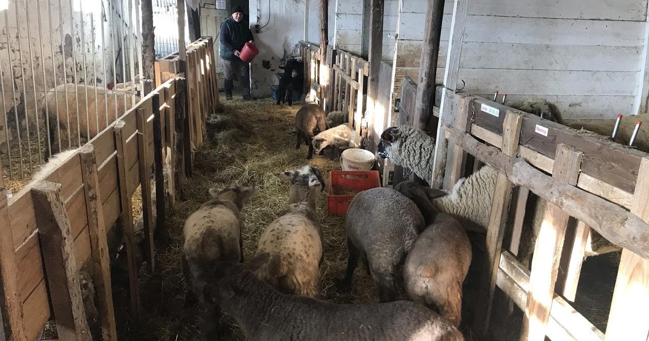 Erneut zwei Schafe in Birnbach gerissen: Züchter vermutet Wolfsangriff
