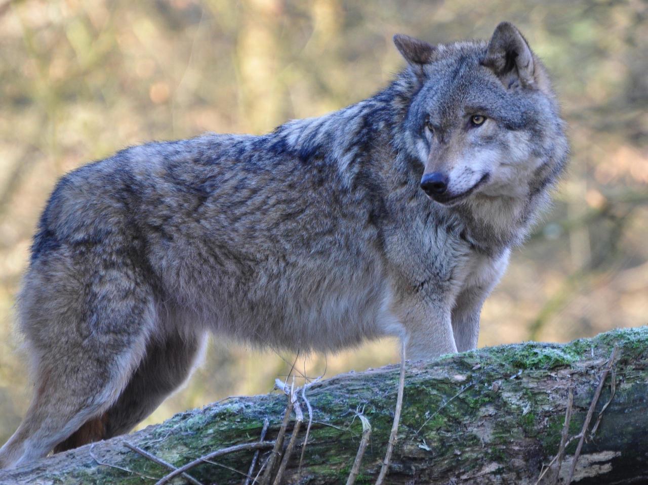 NI kritisiert Rüddels Wolfs-Kurs: Unverantwortliche Panikmache