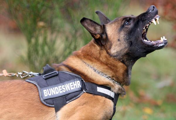 Belgische Billikonkurrenz Fur Den Deutschen Schaferhund Archiv